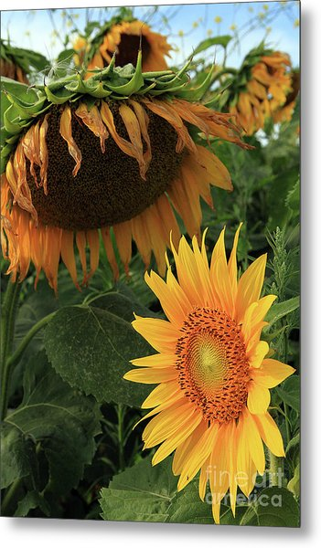 Sunflowers Past And Present Metal Print