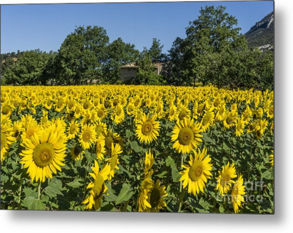 Metal Print featuring the photograph Sunflowers Provence  by Juergen Held