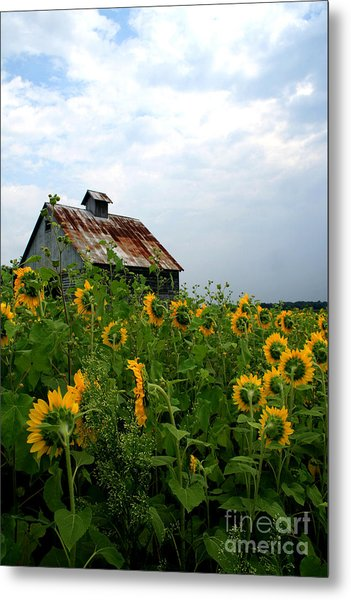 Sunflowers Rt 6 Metal Print
