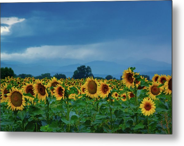 Sunflowers Under A Stormy Sky Metal Print