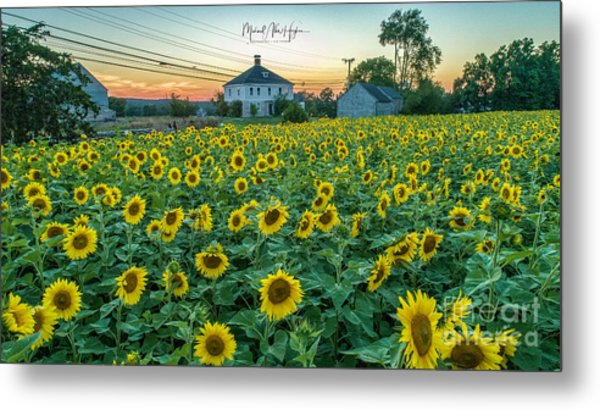 Sunflowers For Wishes  Metal Print