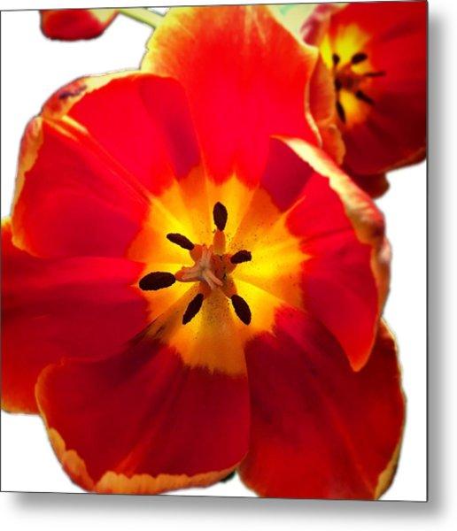 Sunkissed Tulips Metal Print