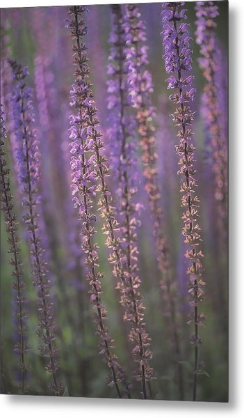 Sunlight On Lavender Metal Print