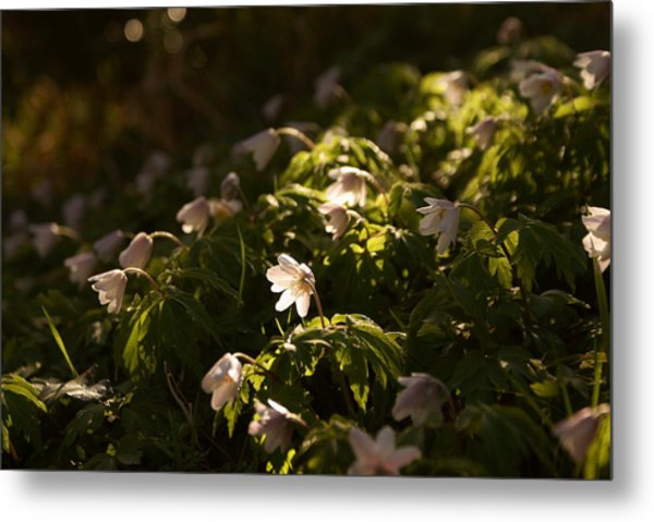 Sunlight Filtering Through The Trees Onto The Daisies. Metal Print