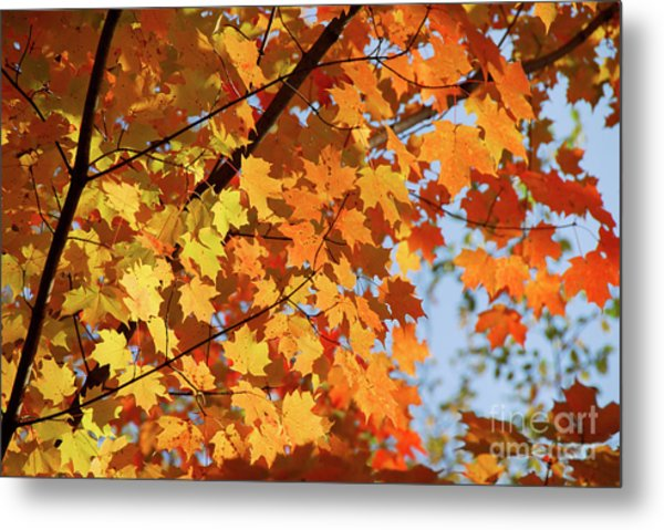 Metal Print featuring the photograph Sunlight In Maple Tree by Elena Elisseeva