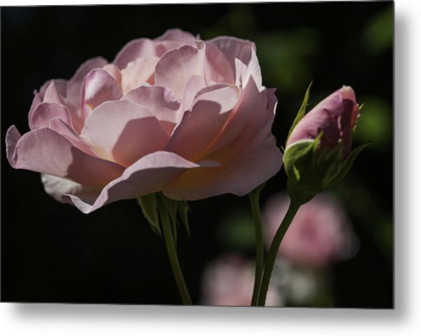 Sunlit Pink Beauty Metal Print