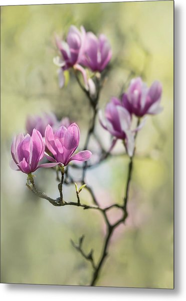 Sunny Impression With Pink Magnolias Metal Print