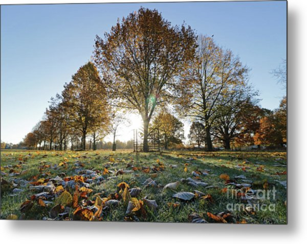 Sunrise Through Lime Trees Metal Print