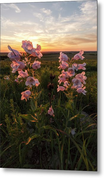 Sunset And Penstemon Metal Print