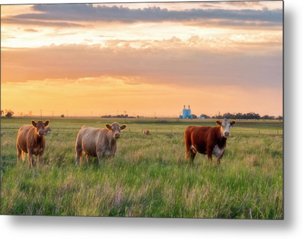 Sunset Cattle Metal Print