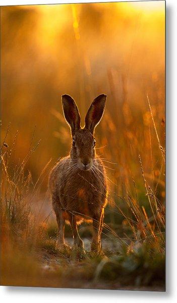 Sunset Hare Metal Print