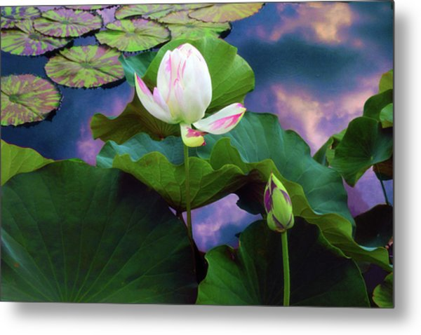 Sunset Pond Lotus Metal Print