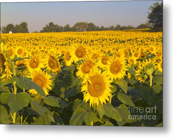 Sunshine Flower Field Metal Print