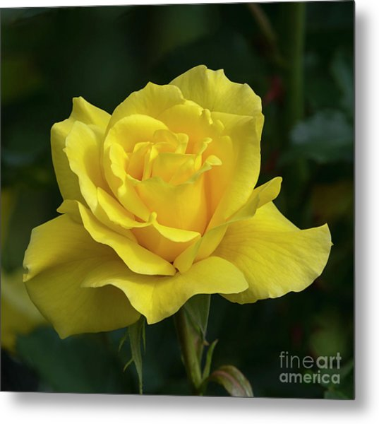 Sunsprite Rose 2 Metal Print