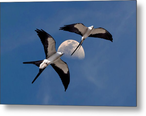 Swallow Tail Kites In Flight Under Moon Metal Print
