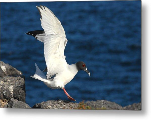 Swallow Tailed Gull Landing Metal Print by Alan Lenk