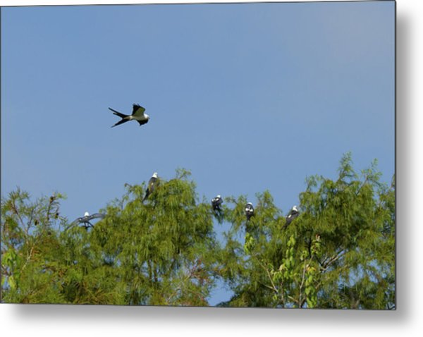 Swallow-tailed Kite Flyover Metal Print