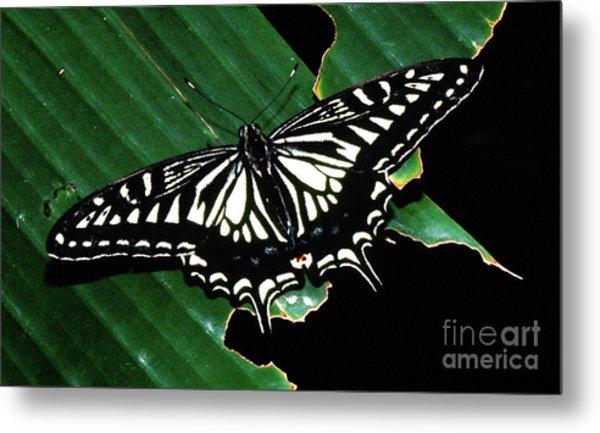 Swallowtail Butterfly- Close Metal Print