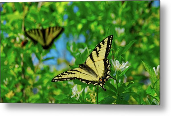 Swallowtails Metal Print