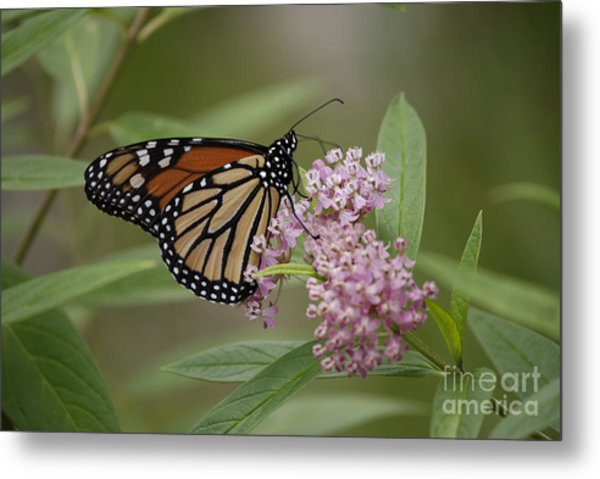 Swamp Milkweed Monarch Metal Print