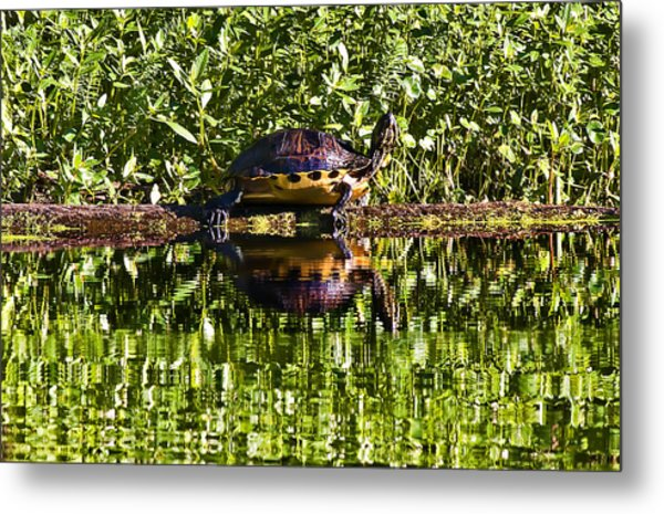 Swamp Turtle Sunning On A Log Metal Print by Michael Whitaker