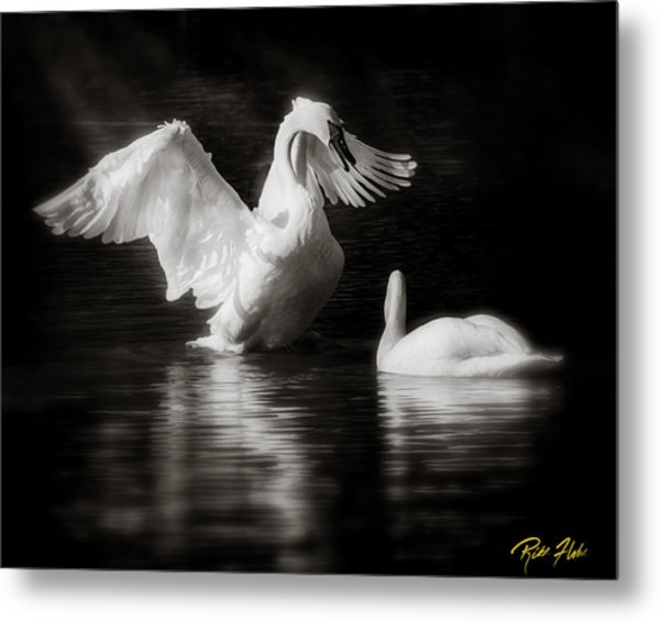 Swan Display Metal Print