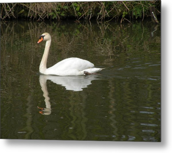 Swan Facing Left Metal Print by Shannon Labout