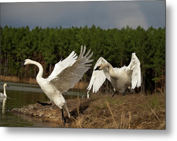 Swan Fight Metal Print