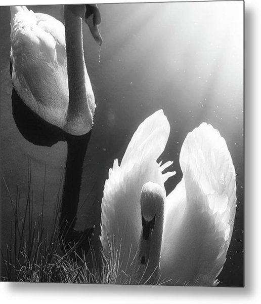 Swan Lake In Winter -  Kingsbury Nature Metal Print