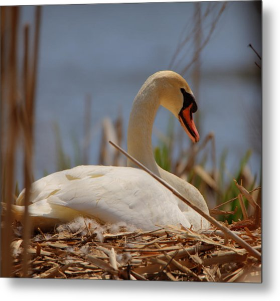 Metal Print featuring the photograph Swan Nesting by Chris Babcock