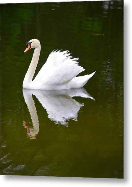 Swan Reflecting Metal Print