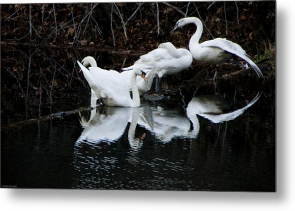 Swans And Snow Geese Metal Print