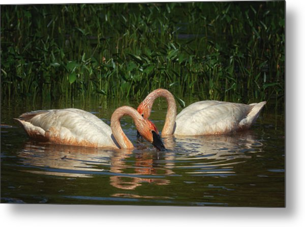 Swans In A Pond  Metal Print