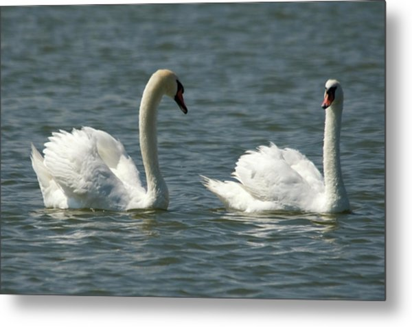 Swans On Lake  Metal Print