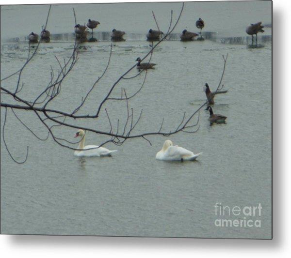 Swans With Geese Metal Print