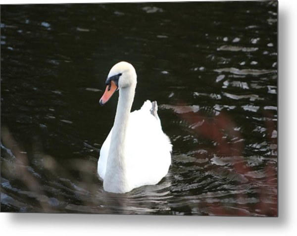 Swans-a-swimming Metal Print
