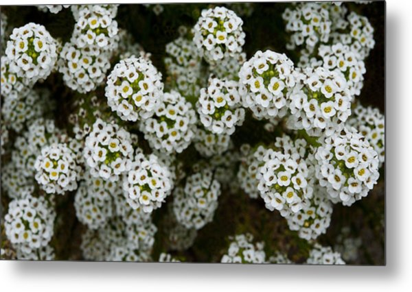Sweet Alyssum Metal Print