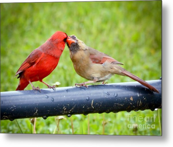 Sweet Cardinal Couple Metal Print