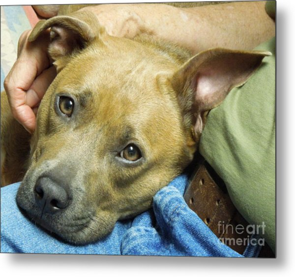 Sweet Pit Bull . Face Of Love Metal Print