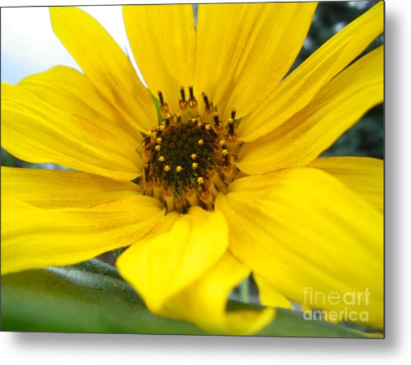 Sweet Sunflower Metal Print