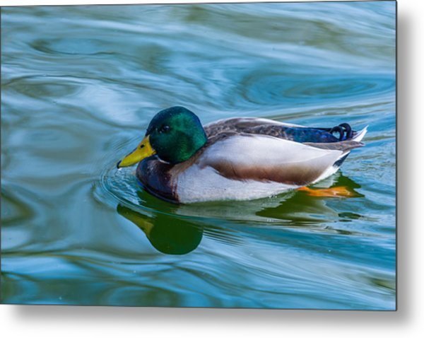 Swimming Duck Metal Print