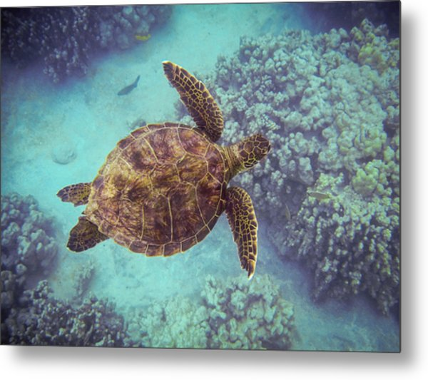 Swimming Honu From Above Metal Print