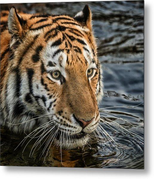 Swimming Tiger Metal Print