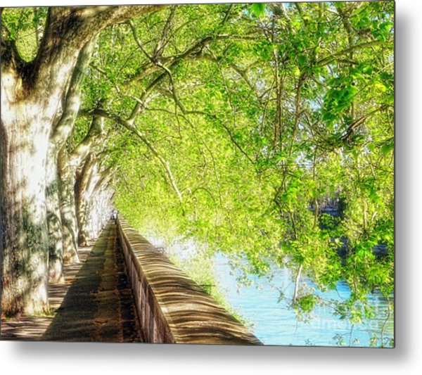 Sycamore Trees Along The Tiber River Metal Print by George Oze