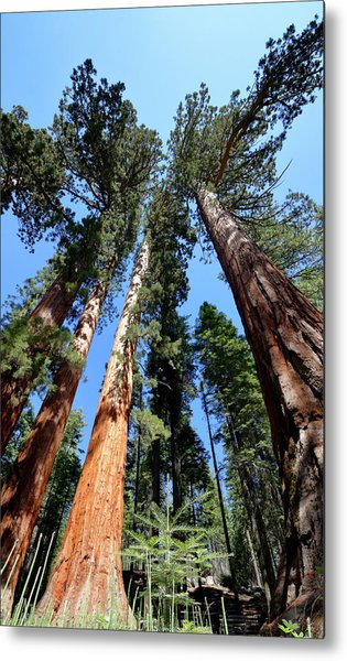 Sylvan Giants 2 Metal Print