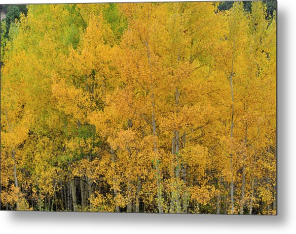 Metal Print featuring the photograph Symphony In Gold by Ron Cline