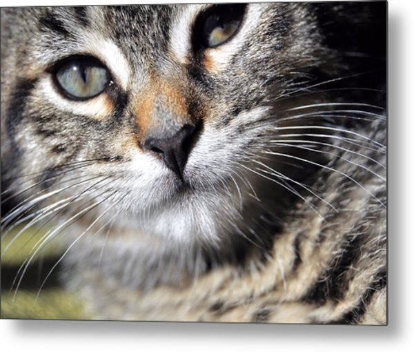 Tabby Kitten Metal Print by JAMART Photography