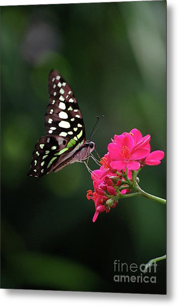 Tailed Jay Butterfly -graphium Agamemnon- On Pink Flower Metal Print