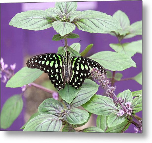 Tailed Jay Butterfly In Puple Metal Print