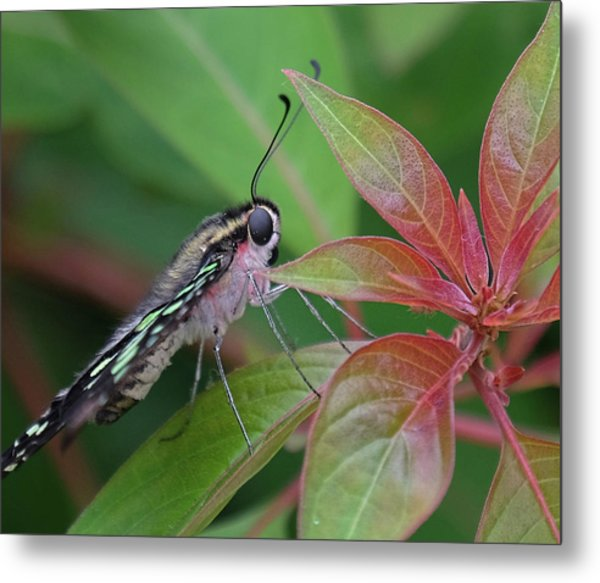 Tailed Jay Butterfly Macro Shot Metal Print